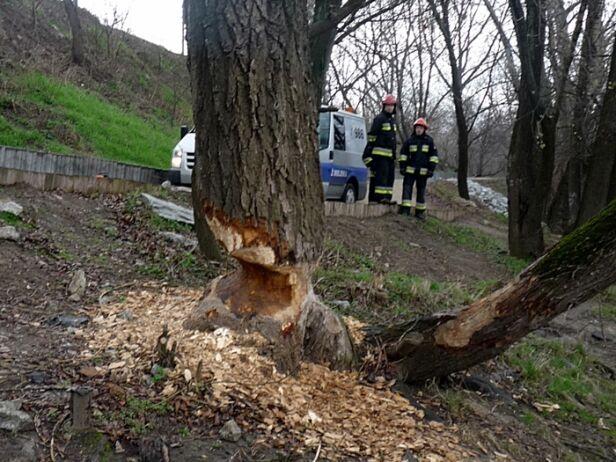 """Tak wyglądało """"podcięte"""" drzewo nad Wisłą straż miejska"""