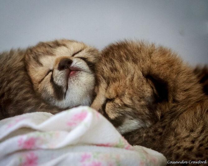 Młode gepardy