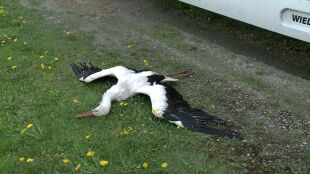 """""""Było tak ładnie, a tu nagle nie ma bociana"""". Martwy ptak przy drodze"""