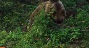 Niedźwiedź uchwycony przez fotopułapkę